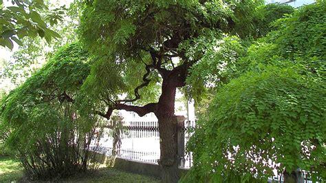 bilder nadelbäume baum f 252 r vorgarten 25 best ideas about baum vorgarten on