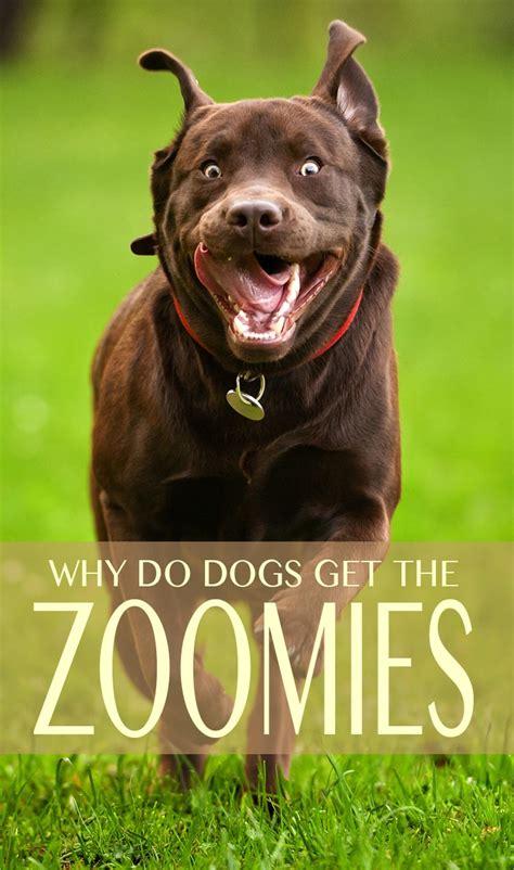puppy zoomies zoomies why do dogs run around like