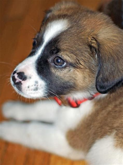 st bernard mix puppies for sale adrian the bernard mix puppies daily puppy models picture