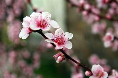 fiore pesco come un fiorellino di rosmarino aprile 2014