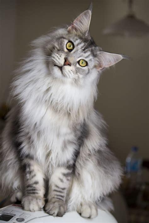 maine coon cat breed grey cat breeds cats types feline pinterest maine