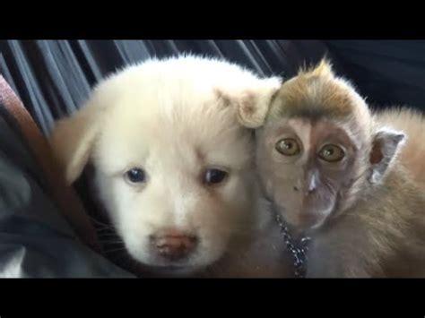 monkey and puppy baby monkey monkey with puppy baby monkey baby animals animals