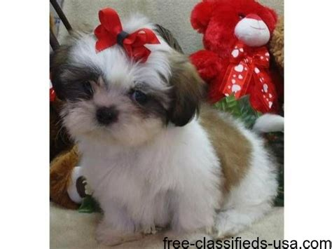 shih tzu for 100 dollars adorable shih tzu puppies for sale animals chatsworth california announcement