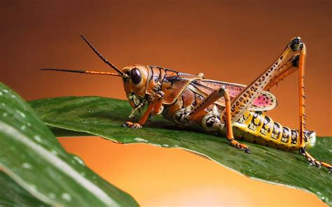 insectanatomy free insect animal pictures gallery chirping crickets the heart thrills