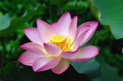 lotus lovetoknow