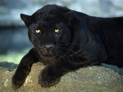 black leopard big cats fascinating animals