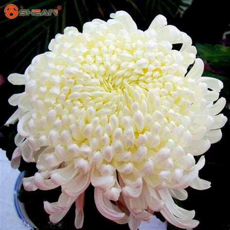 white chrysanthemum books white chrysanthemum seeds beautiful potted chrysanthemum