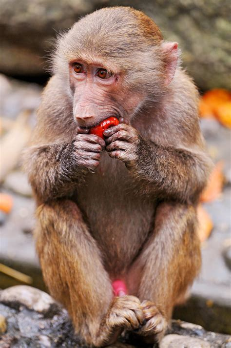 young baboon eating  chestnunt     zoo   flickr