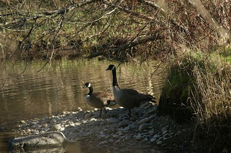 canadian goose habitat flickr photo sharing