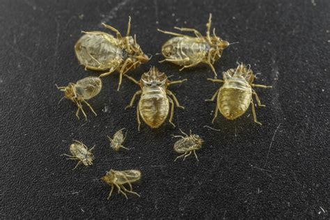 ucr today bed bug cast skins