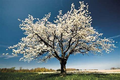 albero con fiori bianchi fiori bianchi 03 fito