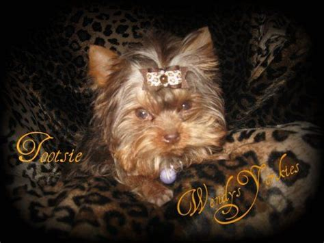 chocolate yorkies alaska 40 best images about chocolate yorkies on stud muffin yorkie and 9 month olds