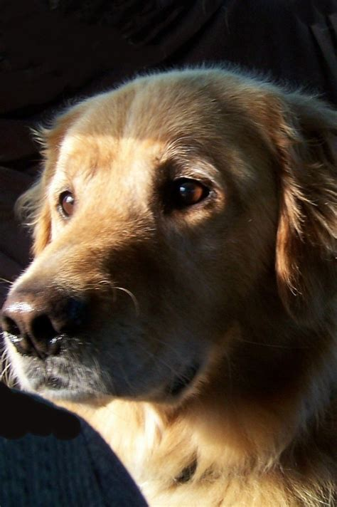 golden retriever behavior and personality 547 best images about golden retriever on