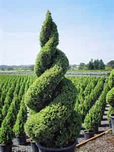 Topiaries Black Goldcelebrating With Spiral Topiaries Black Gold
