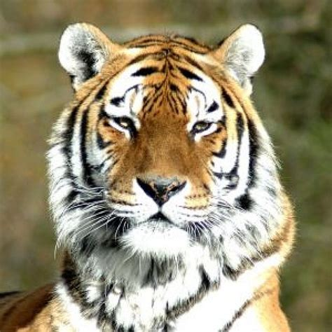 tiger head photo free download