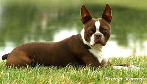boston terrier puppies houston seal boston terrier puppies photo happy heaven