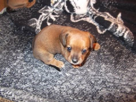 chiweenie puppies for free 24 best images about i want on sleeping puppies puppys and free puppies