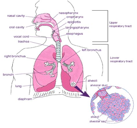 the respiratory system diagram social pathology in modern world health effects of air