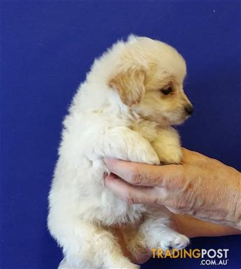 pomeranian poodle puppy pomeranian x poodle puppies at puppy pad for sale in loganholme qld pomeranian x