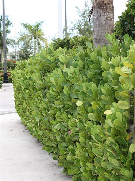 Indoor Decorative Trees For The Home by Tropical Hedge Autograph Tree Clusia Rosea Kens Nursery