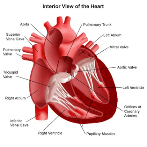 sections of the heart human bio pump pump pump it up