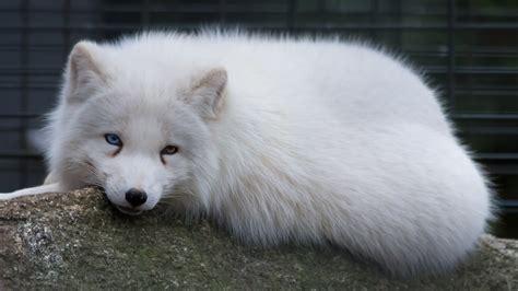 arctic fox polarfuchs  odd eyed arcticfox