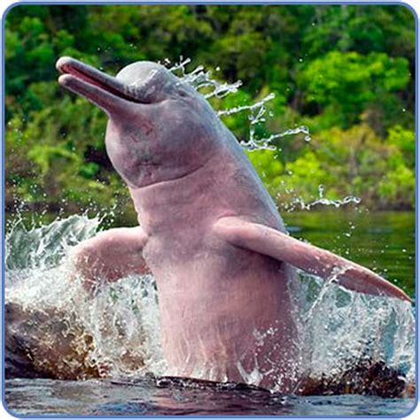 amazon river animals the amazon river dolphin the life of animals
