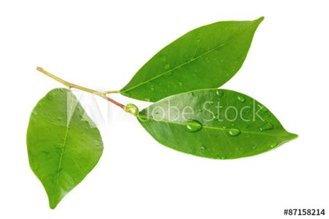 The Draf Of Citrus 1 5 citrus leaves with drops isolated on a white background acheter cette photo libre de droit et