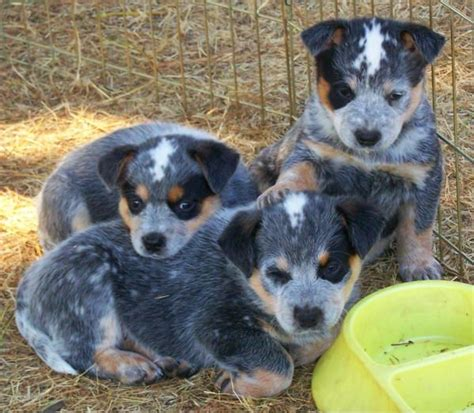 blue heeler puppies for sale in 1000 images about cattle dogs on blue heeler puppys and cattle