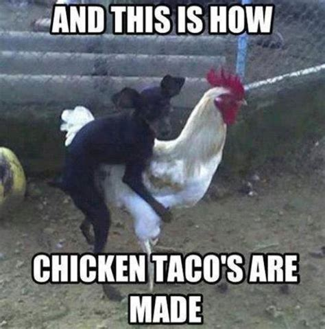 Funny Chicken Memes - confidence is everything chicken meme golfian com
