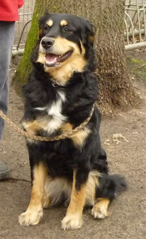 great pyrenees mixed with rottweiler great pyrenees rottweiler mix breeds picture