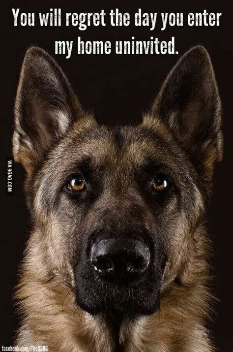 German Shepherd Memes - 23 photos and memes that perfectly illustrate how german