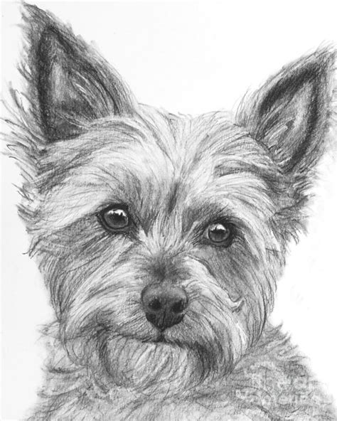 how to a yorkie to on pad yorkie drawing drawing by kate sumners