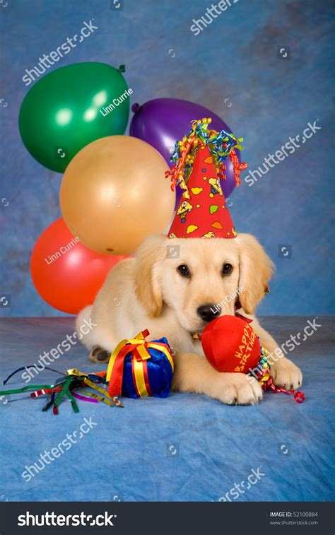 puppy golden retrievers with hats on golden retriever puppy balloons hat stock photo 52100884