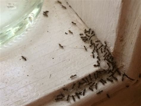 black ants in house ants odorous house ants innovative pest management