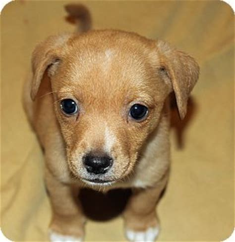 beagle dachshund mix puppies for sale dachshund mix puppy for adoption and adoption on