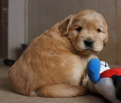 dogs similar to golden retriever puppies on golden retriever puppies bullmastiff and golden retrievers