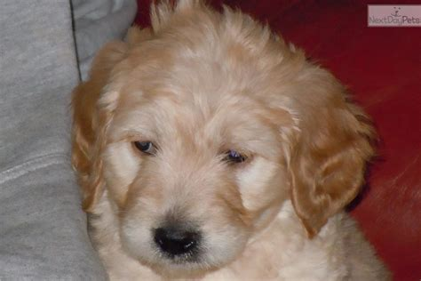 goldendoodle puppy names meet you your name a goldendoodle puppy for sale