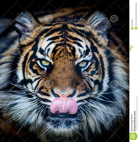 hungry tiger stock image image of licks predator