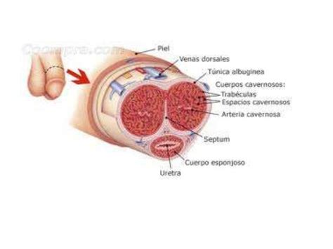partes del pene fracturas de pene priapismo y fimosis