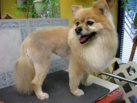 pomeranian with pictures of pomeranian haircuts newhairstylesformen2014