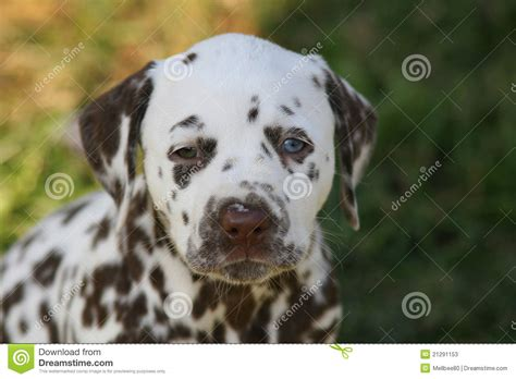 puppy eye color portrait of dalmatian puppy with unequal eyecolor stock