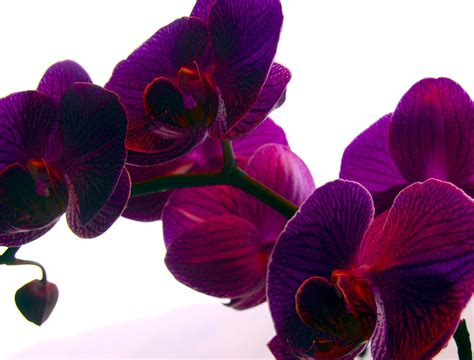 color orchids purple orchid a purple orchid that my attention