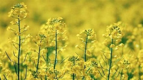 Crop Panel Ban gm crop ban threatens research say scientists news