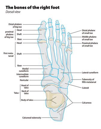 foot diagnosis diagram cuboid in the lateral aspect of the foot