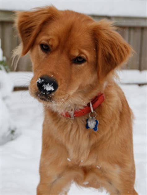 adoptable golden retrievers near me adopt golden retriever puppies virginia photo