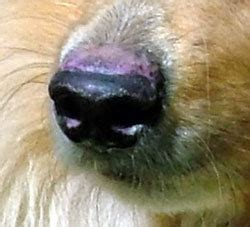 discoid lupus in dogs discoid lupus erythematosus in dogs www pixshark images galleries with a bite