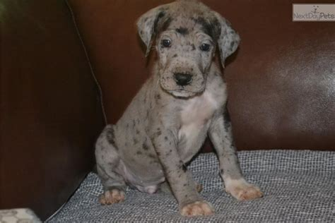 cheap great dane puppies for sale blue great dane puppies for sale in carolina