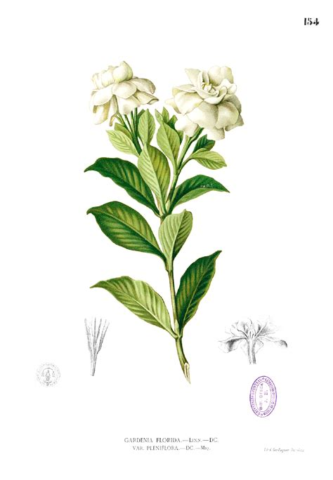 file gardenia jasminoides blanco1 154 png wikimedia commons
