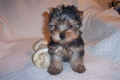 yorkies for sale in wisconsin akc yorkie puppies for sale adoption from wausaukee wisconsin adpost classifieds